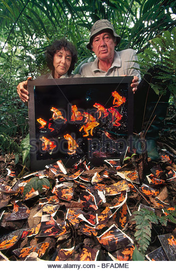 Micheal and Patricia Fogden with print of extinct golden toad, Bufo periglenes, Monteverde Cloud Forest Preserve, - Stock Image