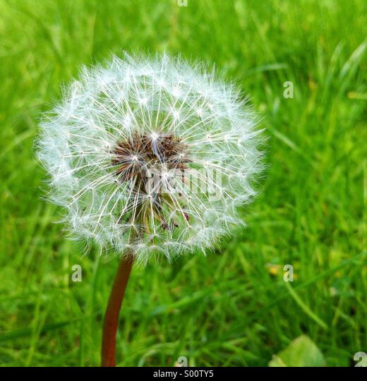 Dandelion clock - Stock Image