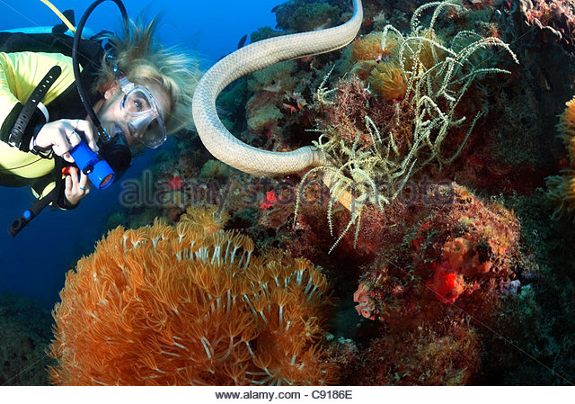 Sea Snake at SS Yongala Shipwreck, Great Barrier Reef Marine Park Qld Australia - Stock Image
