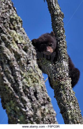 Baby Black Bear cub - Stock Image