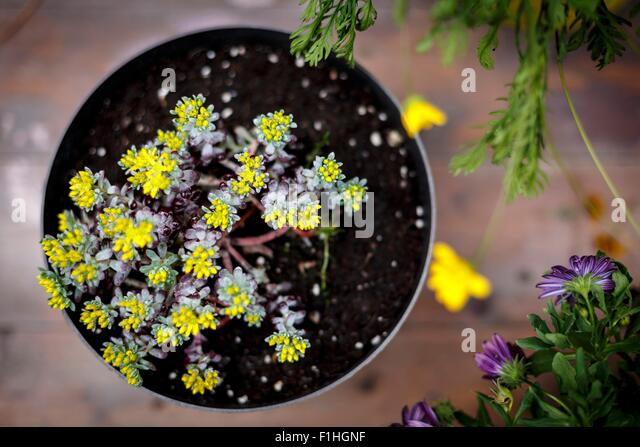 High angle view of pot plant with small yellow leaves - Stock Image