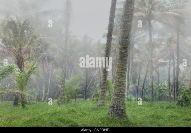 Tall coconut trees shrouded in mist. Kochi, Kerala, India. Digital Composite - Stock-Bilder