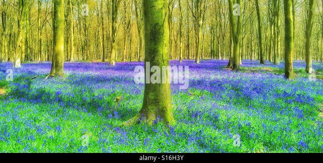 An English Bluebell Woodland Scene in Springtime. The 'Purple' Bluebell flowers (Hyacinthodes Non-Scripta) - Stock-Bilder