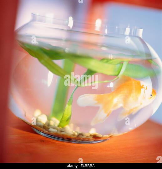 aquarium aquarium fish bowl catalogue 2 close-up color image fish goldfish one animal square Swedish catalogue 3 - Stock-Bilder