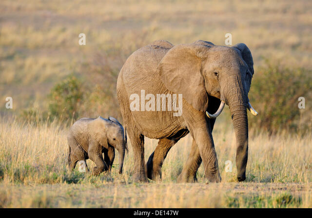 African elephant (Loxodonta africana), cow and calf at the first light of dawn, Masai Mara National Reserve, Kenya, - Stock Image