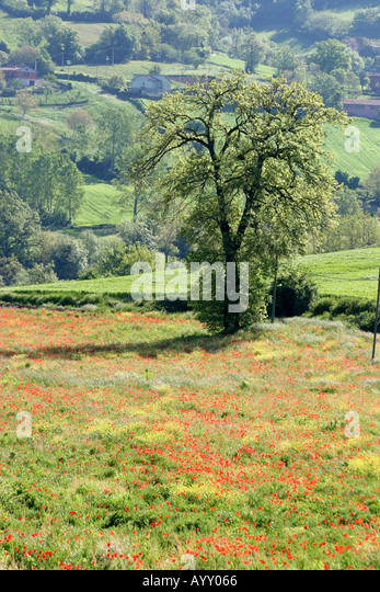 Poppy field Le Marche Italy - Stock Image
