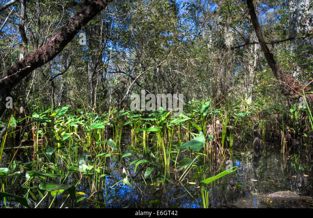 Cypress Swamp Near Myrtle Beach