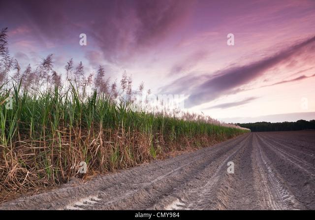 Cane field at twilight.  Mossman, Queensland, Australia - Stock Image