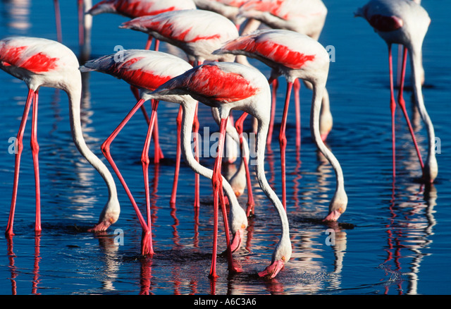 Greater Flamingo Phoenicopterus ruber Feeding Africa Southern Eurasia Americas - Stock Image