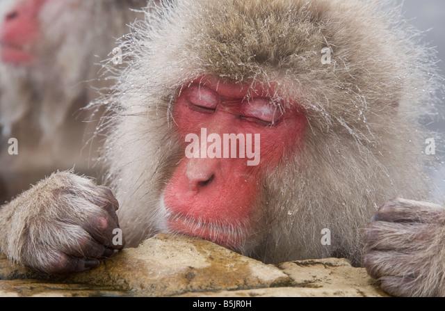 Snow Monkeys in Jigokudani National Monkey Park Nagano Japan - Stock Image