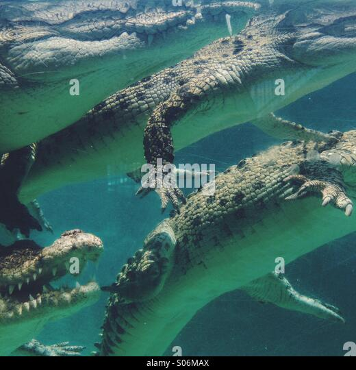 Crocodiles - Stock Image