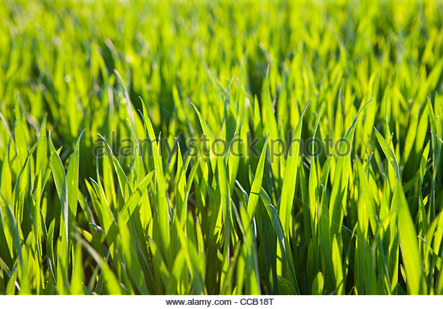 Abundant maize crop growing in field - Stock Image