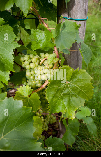 Bodenham grapes at Broadfiled Court Herefordshire  in close up  - vertical crop - Stock Image