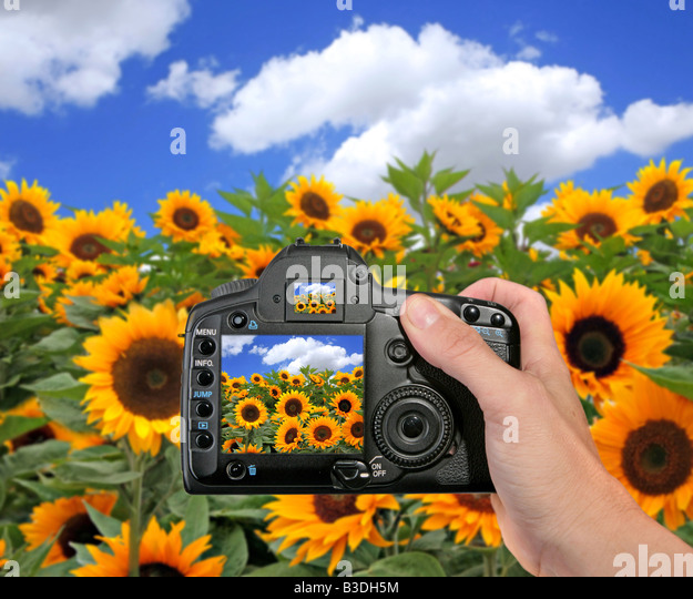 DSLR Camera Taking a Photograph of a Sunflower Field on a Sunny Day - Stock Image