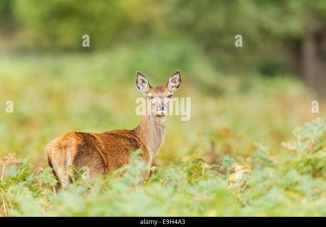 Red deer (Cervus elaphus) hind during the annual rut - Stock Image