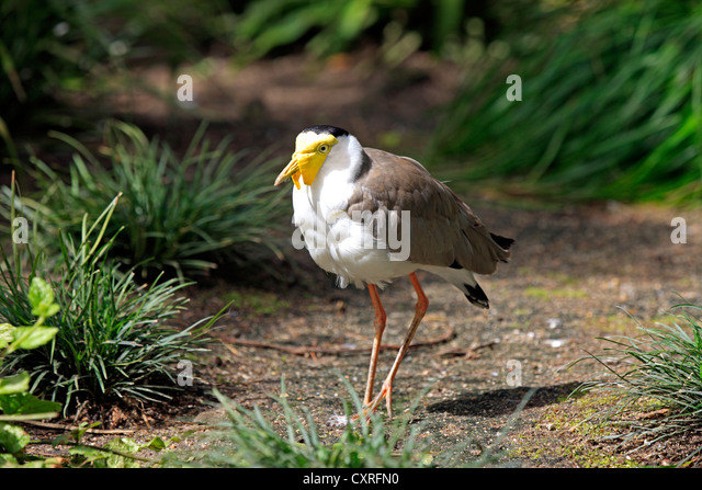 African Wattled Lapwing or Senegal Wattled Plover (Vanellus senegallus), adult, South Africa, Africa - Stock Image
