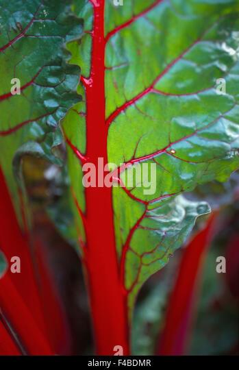 beetroot close-up color image detail fruits and vegetables green leaf red vegetable vertical - Stock-Bilder
