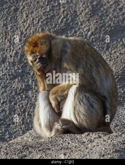 The monkey is tired, sad. - Stock-Bilder