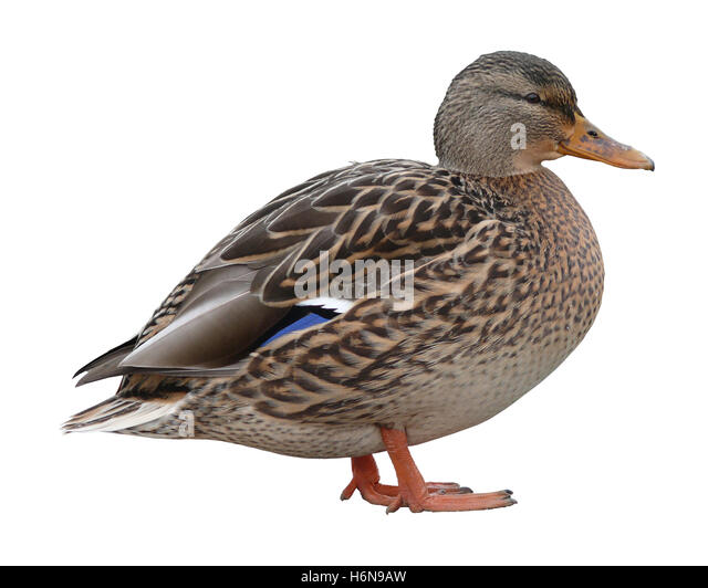 duck - Stock Image