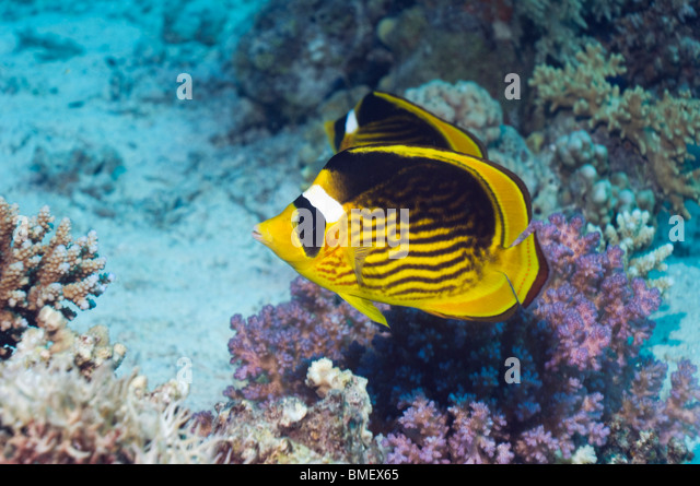 Red Sea racoon butterflyfish on coral reef.  Egypt, Red Sea. - Stock Image