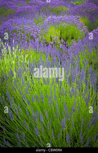 Lavender fields on San Juan Island in Washington state's Puget Sound - Stock-Bilder