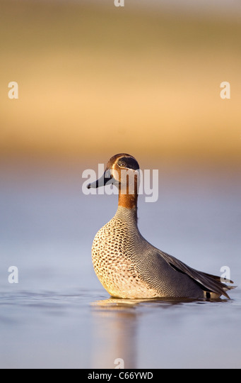 TEAL Anas crecca Profile of an adult male on alert and preparing to take flight. Norfolk, UK. Photographer.Andrew - Stock-Bilder