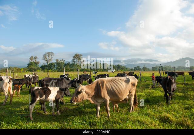 Dominikanische Republik, Südwesten, Kühe auf der Weide bei Rancho Arriba östlich von San Jose de - Stock Image