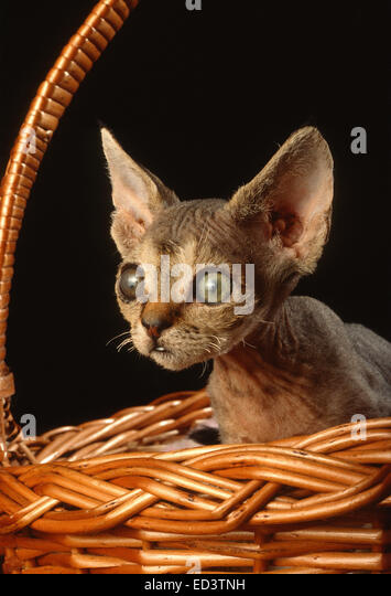 Devon Rex cat - Stock Image