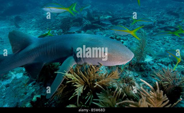 Fish chondrichthyes elasmobranchii orectolobiformes for Key city fish