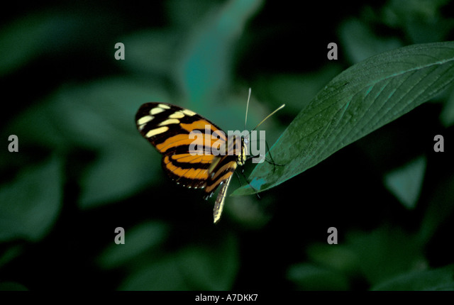 Honduras Butterfly orange black - Stock Image