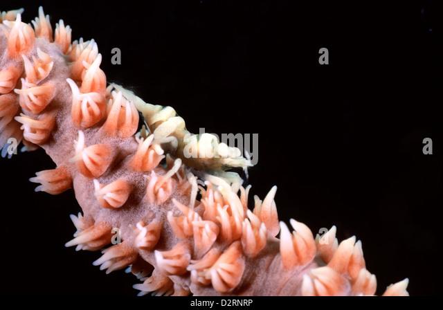 Commensal shrimp, Dasycaris sp, on wire coral, Loloata Island, Central Provence, Papua New Guinea, Coral Sea - Stock Image
