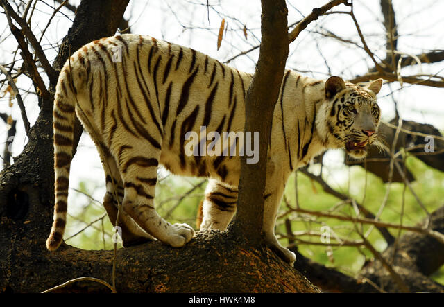 A white tiger is standing on top of a tree. - Stock Image