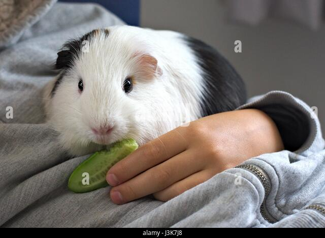 Black and white pet guinea pig eating cucumber on child's lap. - Stock Image