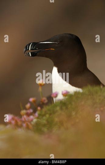 Razorbill (Alca torda), single adult perched on rock. - Stock-Bilder