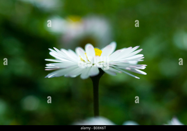 aster, asteraceae, bellis, daisy - Stock Image