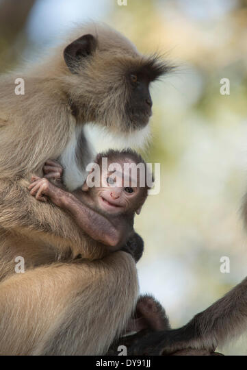 Hulman, Hanuman, Indian, monkey, Asia, animals, animal, female, young, - Stock Image