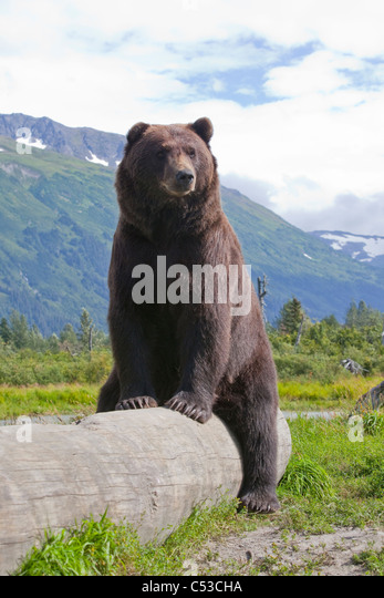 An adult male Brown bear lays on and lazily straddles a log, Alaska Wildlife Conservation Center, Alaska, Summer. - Stock Image