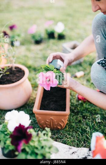 Woman planting petunia plants into flowerpot - Stock Image