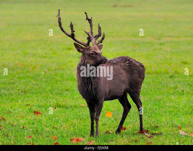 Sika deer, Tame sika deer, Tame deer (Cervus nippon), Sika stag standing in a meadow - Stock Image