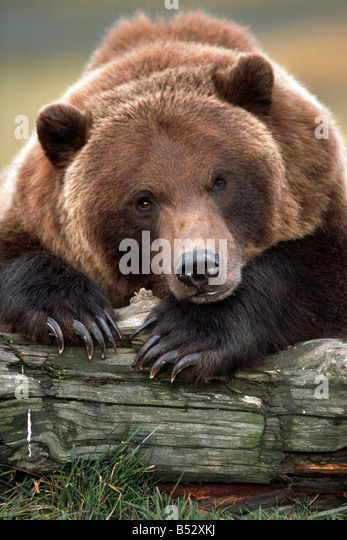 Brown Bear rests with front legs on log at the Alaska Wildlife Conservation Center, Summer Southcentral Alaska Captive - Stock Image
