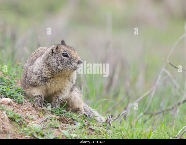 Otospermophilus beecheyi, California Ground Squirrel, Berkeley, California, USA - Stock Image