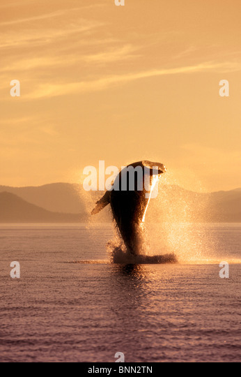 Humpback Whale Breaching in Inside Passage SE AK Summer Backlit - Stock Image