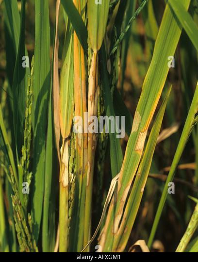 Sheath blight Rhizoctonia solani bleached white lesions on mature rice plant - Stock Image