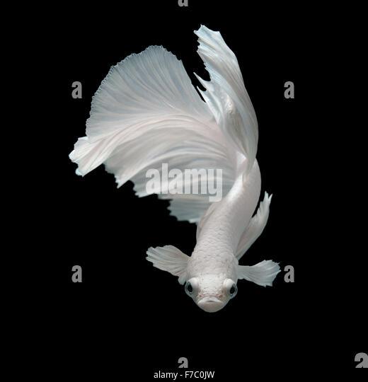 Betta fish stock photos betta fish stock images alamy for Black and white betta fish