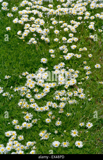 Common daisies in lawn - Stock Image