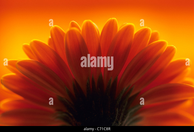 Gerbera Single orange yellow flower with petals outlined against orange background. - Stock Image