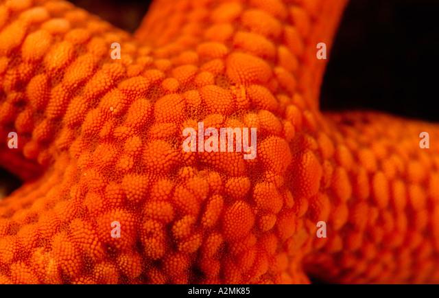 detail of red starfish, Echinodermata echinoderms - Stock Image