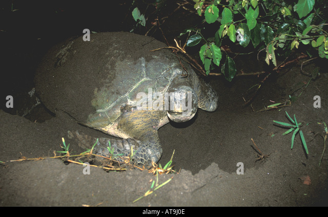 Costa Rica Tortuguero beach green sea  turtle nesting - Stock Image