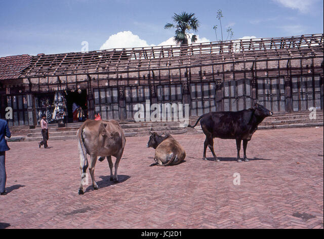 Reportage Nepal 1980. Pokhara, sacred cows - Stock Image