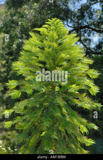 Araukariengewaechse stock photos araukariengewaechse for Garden trees adelaide